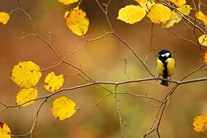 Bilder Vögel Herbst Ast Parus Tiere