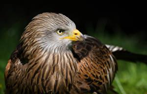 Hintergrundbilder Vögel Habicht Schnabel