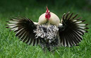 Hintergrundbilder Vögel Hahn Flügel ein Tier
