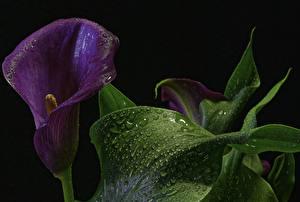 Image Callas Closeup Macro photography Black background Violet Leaf Drops flower