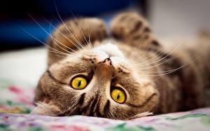 Hintergrundbilder Katze Starren Schnurrhaare Vibrisse Schnauze Süß Tiere