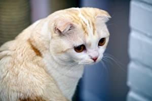 Fotos Katze Schottische Faltohrkatze Weiß