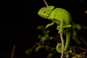 Hintergrundbilder Chamäleons Grün Ast Tiere