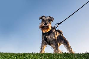 Pictures Dogs Schnauzer Grass Animals