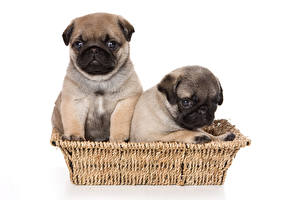 Image Dogs White background Wicker basket Two Pug Puppy animal