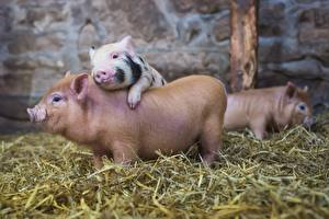 Pictures Domestic pig Hay Straw