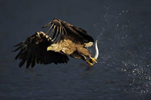 Photo Eagle Bird Fish Hunting Flight White-tailed Eagle Animals