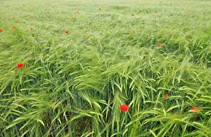 Bilder Acker Mohn Weizen Ähre
