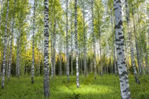 Bilder Wälder Birken Baumstamm Bäume