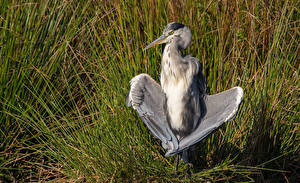 Pictures Heron Birds Grass Wings animal