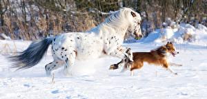 Bilder Hauspferd Hunde Winter Laufen Schnee Tiere