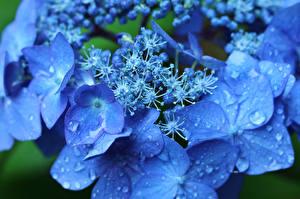 Fotos Hortensie Makro Großansicht Blau Tropfen Blumen