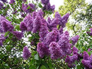 Bilder Flieder Ast Blumen