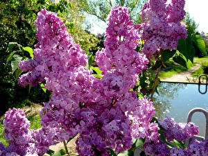 Wallpapers Syringa Closeup Branches Flowers