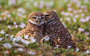 Wallpaper Owl 2 Burrowing owl Animals