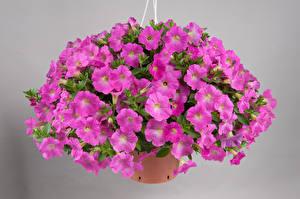 Fondos de escritorio Petunia Muchas Fondo gris Violeta color Flores