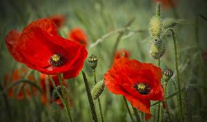 Hintergrundbilder Mohn Großansicht Rot Knospe Blumen