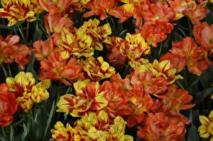 Wallpaper Tulips Closeup Orange Flowers