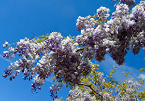 Bilder Blauregen Ast Blumen