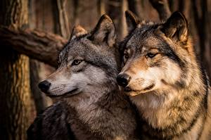 Images Wolf Two Snout animal
