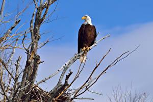 Hintergrundbilder Vögel Habicht Weißkopfseeadler