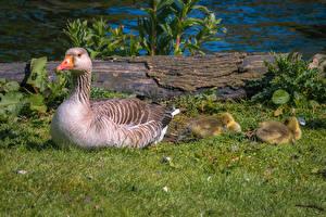 Wallpaper Birds Nestling Geese Grass animal