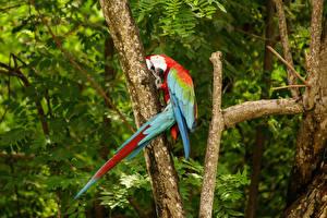 Fotos Vögel Papageien Eigentliche Aras Ast Tiere