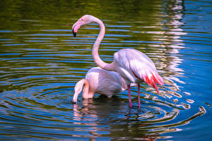 Hintergrundbilder Vögel Wasser Flamingos Zwei Rosa Farbe