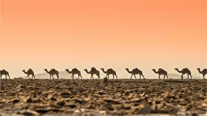 Fotos Altweltkamele Wüste Caravan ein Tier