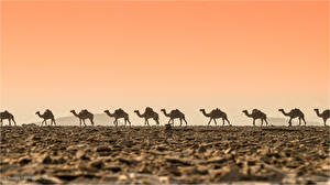 Fotos Kamele Wüste Caravan ein Tier