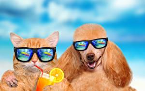 Bilder Katze Hunde Fruchtsaft Zwei Pudel Brille Lustiger Tiere