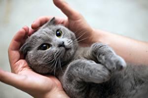 Fotos Katze Graues Hand Pfote Süß Tiere