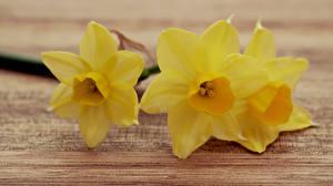 Fotos Großansicht Narzissen Gelb Blumen