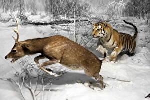 Bakgrunnsbilder Hjort Vinter Tigre Jakt Snø Redd Løping Dyr