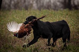 Bakgrunnsbilder Hund Fugler Retrievere Labrador retriever Jakten Dyr