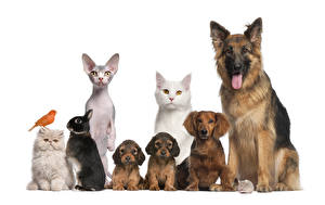 Pictures Dogs Cats Rabbits White background Shepherd Puppy Animals