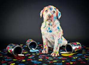 Bilder Hunde Retriever Grauer Hintergrund Starren Komische Labrador Retriever Tiere