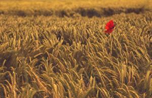 Bilder Acker Weizen Mohn Ähre