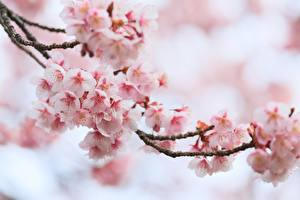 Pictures Flowering trees Closeup Cherry blossom Branches Flowers