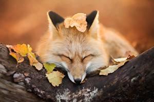 Fotos Füchse Blattwerk Süß Tiere