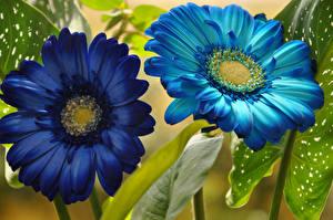 Wallpapers Gerbera Closeup Two Blue Light Blue Flowers