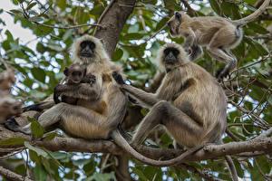 Fotos Indien Park Affen Jungtiere Ast Ranthambore National Park Tiere