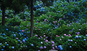 壁纸、、日本、京都市、庭園、アジサイ、木の幹、花