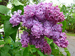 Pictures Syringa Closeup Branches Flowers
