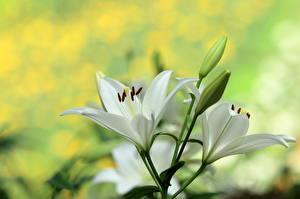 Hintergrundbilder Lilien Hautnah Knospe Weiß Blüte