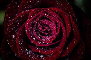 Bilder Makro Großansicht Rot Dunkelrote Tropfen Blumen