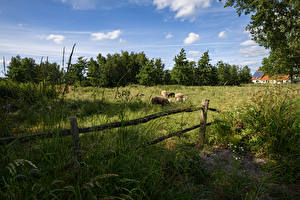 Images Netherlands Meadow Sheep Fence Grass De Haeck Nature