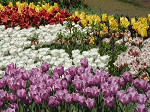 Hintergrundbilder Niederlande Parks Tulpen Großansicht Keukenhof Blumen
