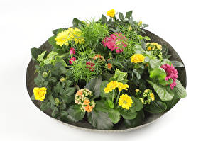 Hintergrundbilder Rose Gerbera Weißer hintergrund Blumen