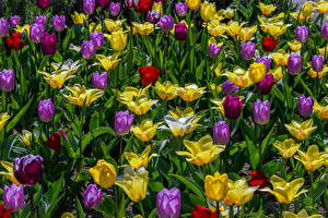 Hintergrundbilder Tulpen Hautnah Blüte